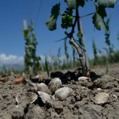 vinograd-tlo