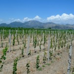 vinograd 2014-1024x678